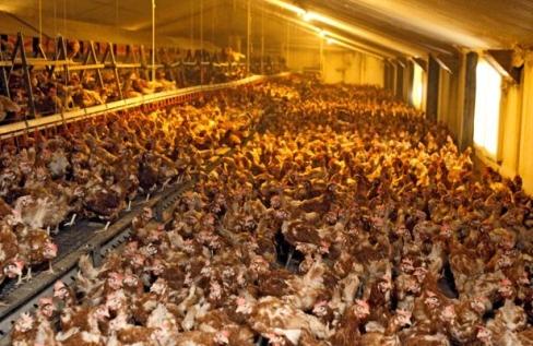 un véritable univers concentrationnaire-poules-et-poulets